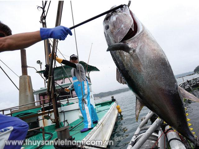 Hiệu quả thiết bị làm chết nhanh, sơ chế cá ngừ được nhiều nước tiên tiến áp dụng   Ảnh: Tunafish