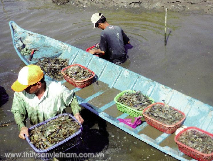 Hỗ trợ ngành tôm Cà Mau phát triển mạnh mẽ hơn trong thời gian tới