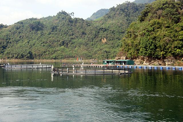 Mô hình nuôi cá rô phi trên mặt nước hồ Hòa Bình của Tập đoàn Mavin