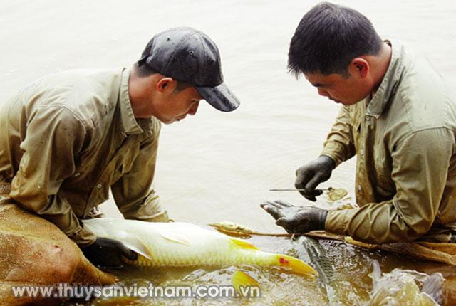 Thành công trong sản xuất giống cá chép lai