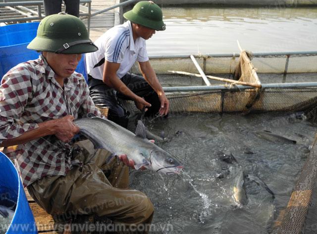Nuôi cá giống đem lại hiệu quả kinh tế cao