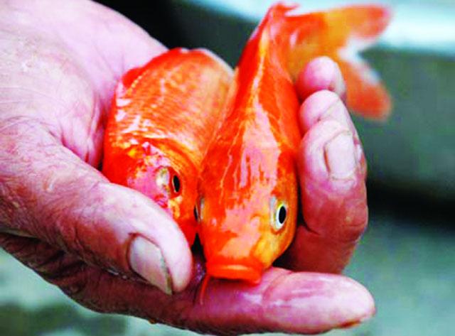 cá chép đỏ