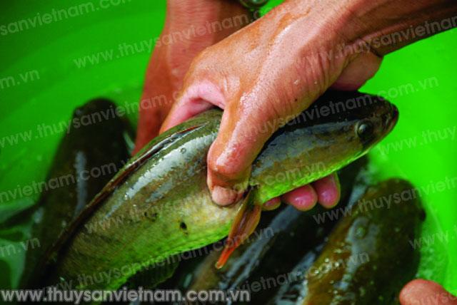 Cá lóc tại Quảng Cư đem lại hiệu quả kinh tế cao