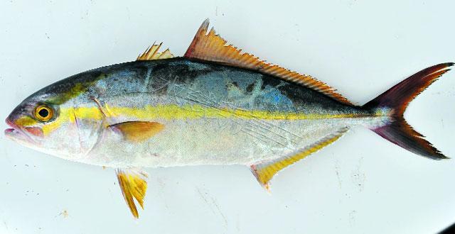 cá cam sọc - đối tượng nuôi mới