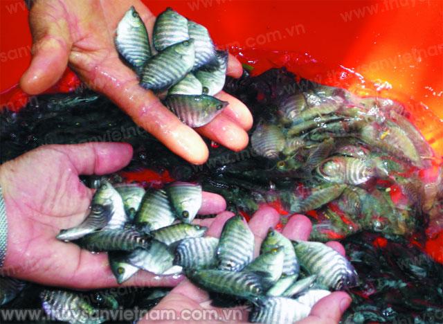 sản xuất giống và ương nuôi cá sặc rằn
