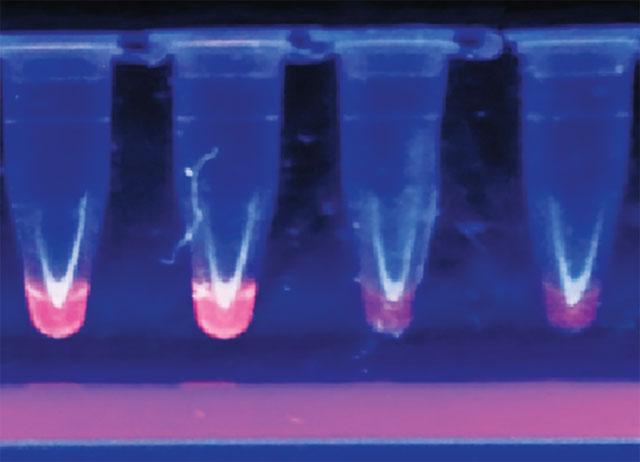 Bộ kit chẩn đoán tại chỗ virus gây bệnh đốm trắng dựa trên kỹ thuật nhân bản DNA đẳng nhiệt