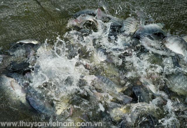 Khuyến nông Bắc Giang phối hợp xây dựng mô hình liên kết nuôi cá rô phi VietGAP gắn với tiêu thụ sản phẩm.