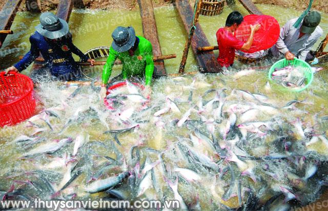 Vaccine tiêm giúp bảo hộ cá khỏi các bệnh