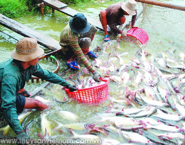 Diện tích thả nuôi cá tra tăng mạnh từ đầu năm đến nay