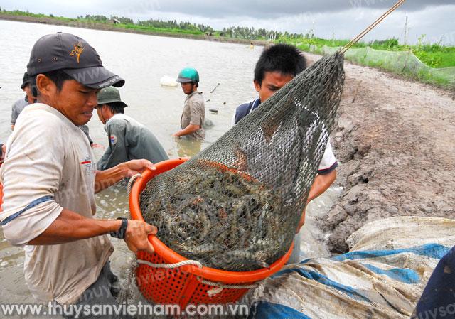 http://thuysanvietnam.com.vn/uploads/article2/baiviet/thuongmai/z300-con-tom-993-.jpg