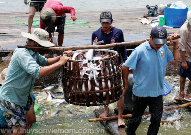 cá tra với ba thách thức lớn