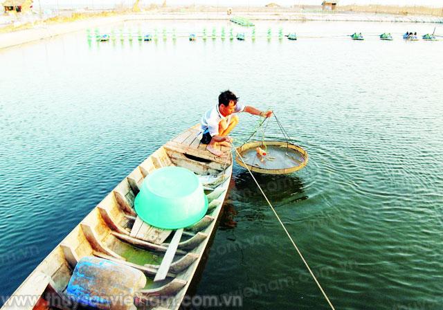 Sử dụng các sản phẩm an toàn môi trường trong nuôi tôm là xu hướng tất yếu - Ảnh: Nguyễn Hoàng Trong
