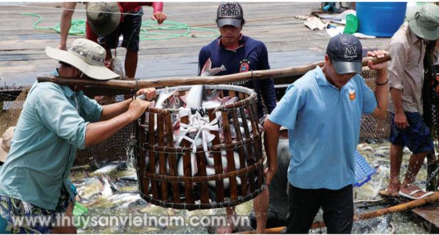 Người nuôi cá tra ở ĐBSCL vẫn gặp khó   Ảnh: An Đăng