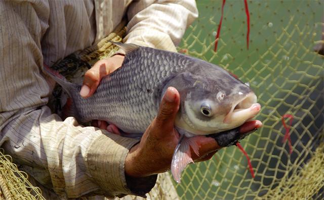 Quy trình nuôi cá hô thương phẩm 1