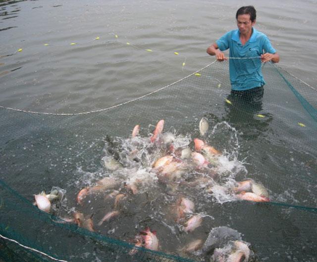 Khai phá tiềm năng cá rô phi