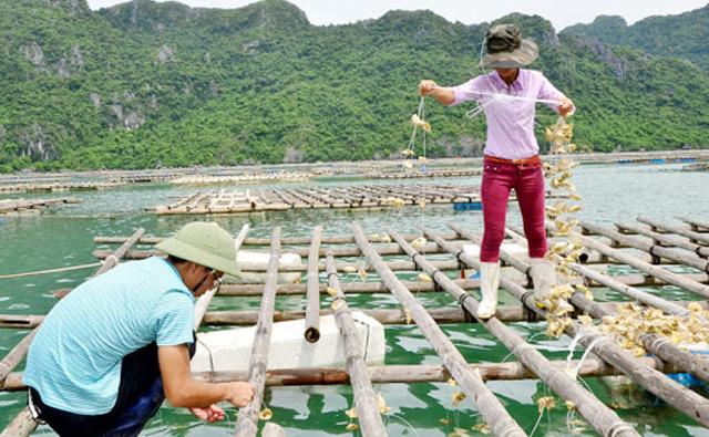 Ứng dụng công nghệ trong nuôi hàu Thái Bình Dương