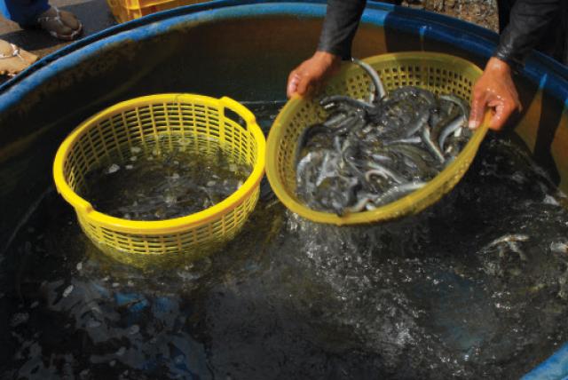 Kỹ thuật nuôi cá kèo
